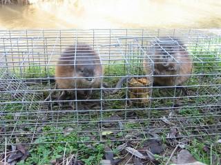 La prolifération des rats est infiniment ravageuse pour la santé et l'économie